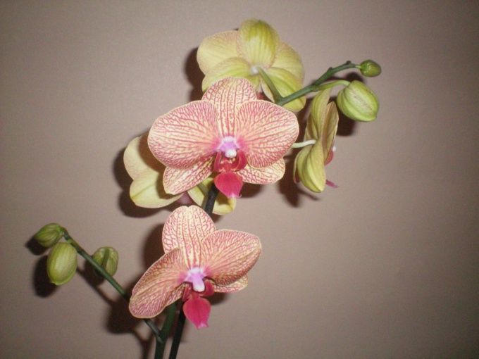 How to cut stems of orchids