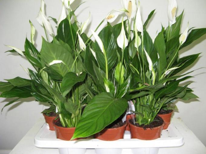 Какие комнатные растения приносят семейное счастье