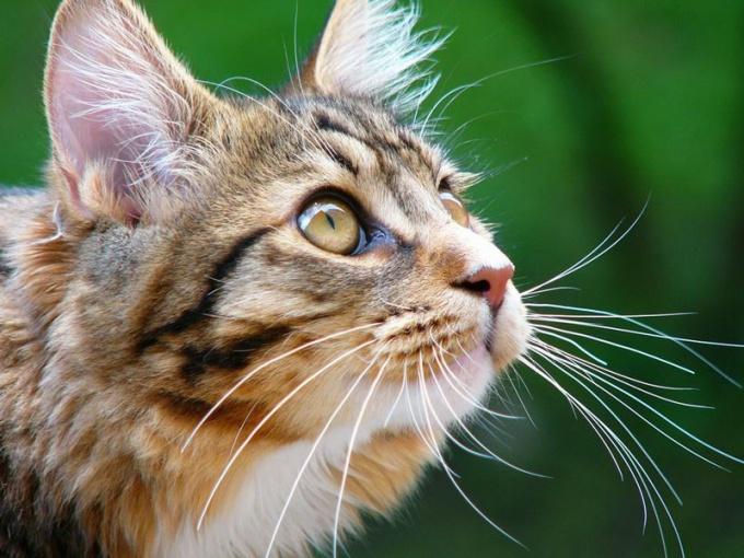 кашель у котят