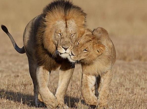 Как воротить любовь Льва