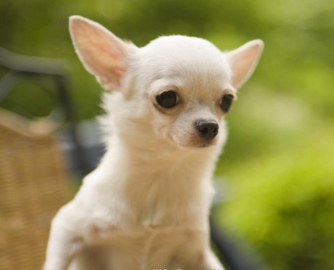 Как назвать щенка чихуахуа