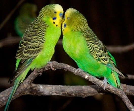 How to choose a pair of parrot