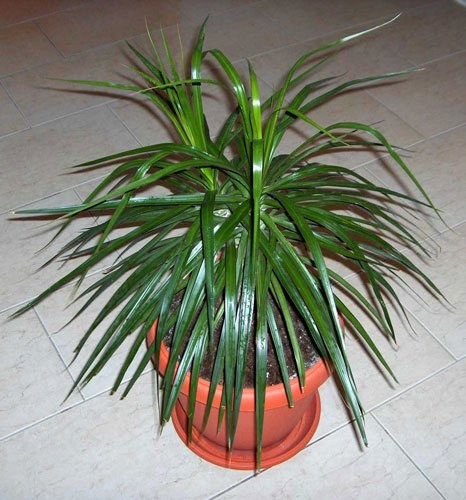 How to transplant a dracaena