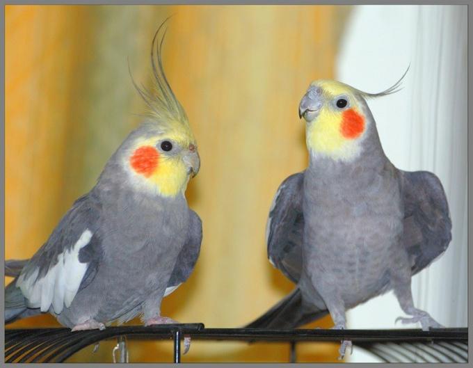 Как выбрать попугая корелла