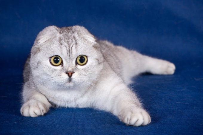 How to choose a Scottish fold kitten