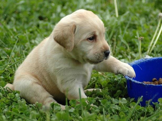 Как кормить щенка среднеазиатской овчарки