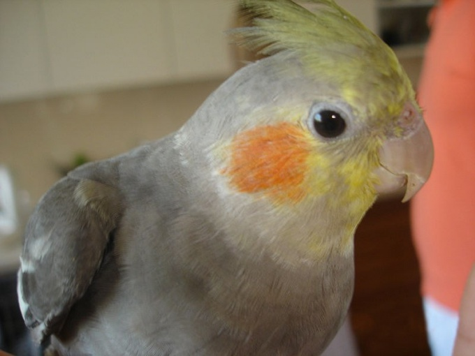 How to teach a parrot to talk-Corell