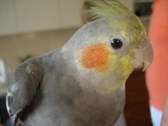 как научить попугая говорить корелла