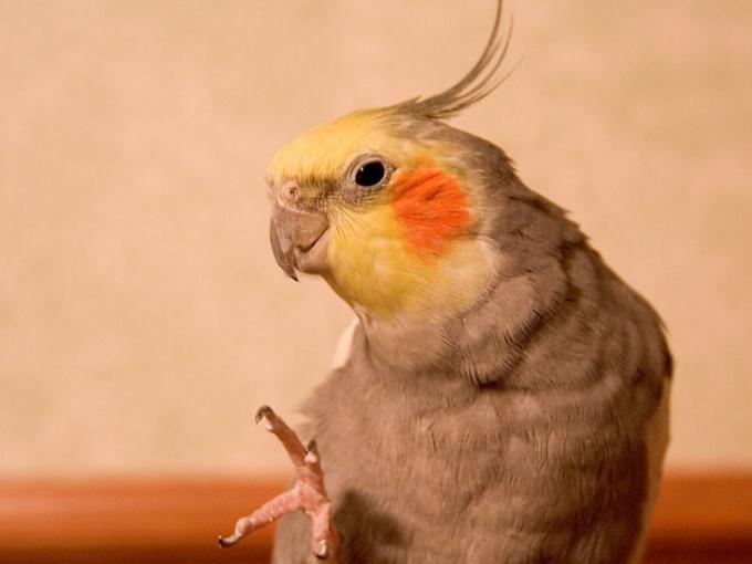 Каким методом определить возраст попугая корелла