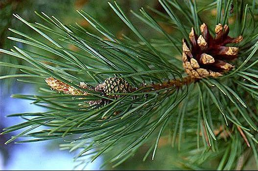 How to cook pine extract