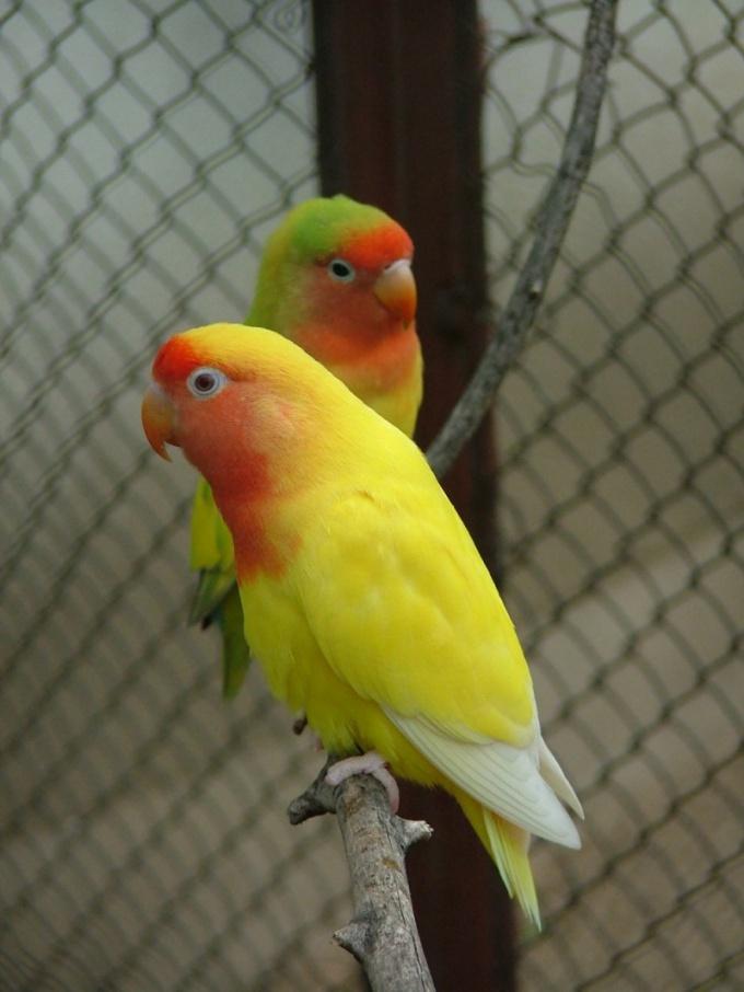 уборка в клетке попугая