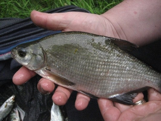How to catch bream from the boat