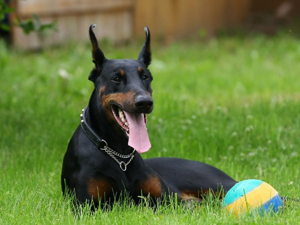 как назвать крупную собаку