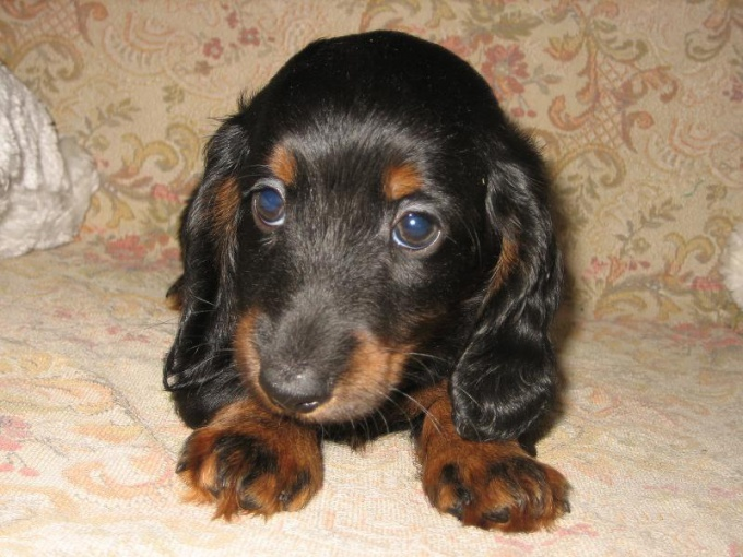 How to wean a Dachshund to chew on everything