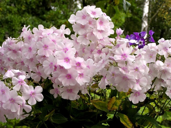 How to grow perennial Phlox from seed