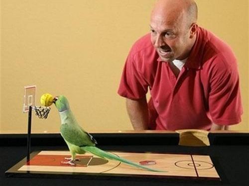 как научить попугая неразлучника играть