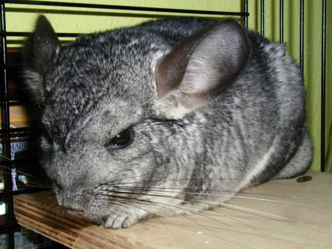How to determine the sex of chinchillas