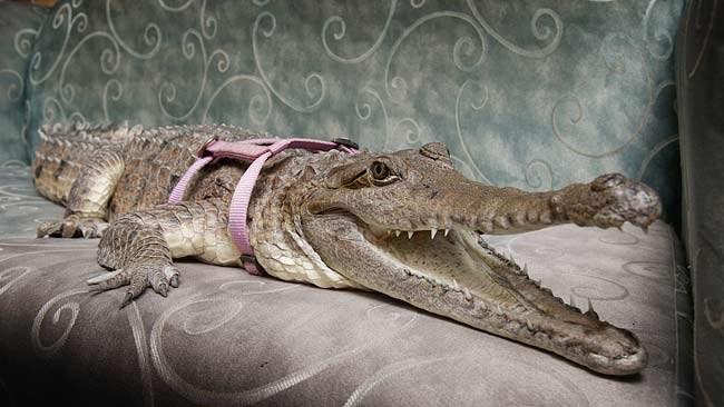 Как приручить крокодила