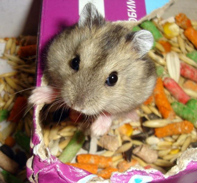 How to distinguish gender Djungarian hamster
