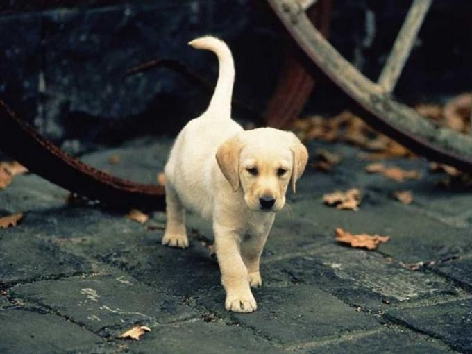 Как научить собаку гулять
