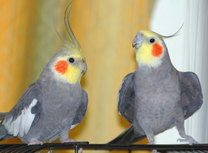 нимфа попугай