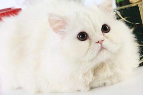 как мыть и расчесывать персидских кошек