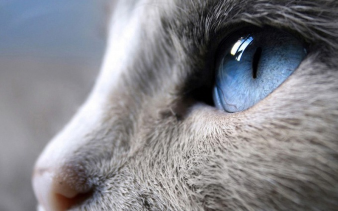 How to treat a cat if she has watery eyes