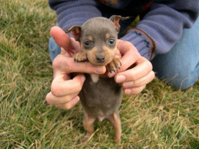 как правильно кормить щенка карликового пинчера