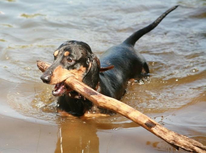 Как научить собаку плавать