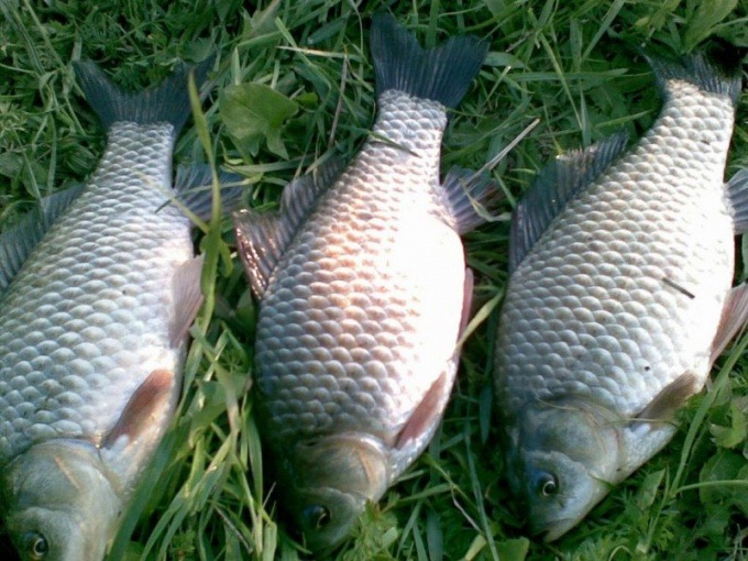 How to catch carp in the spring