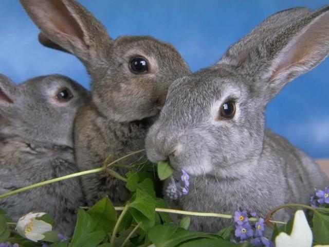 Как растить кроликов