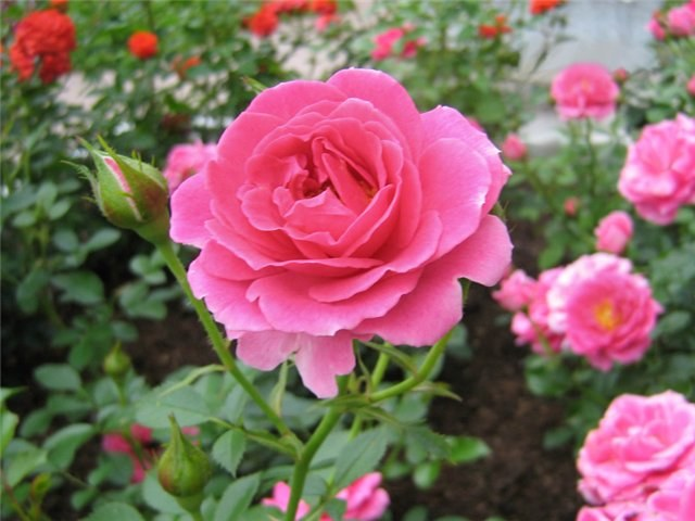 How to grow roses in Siberia