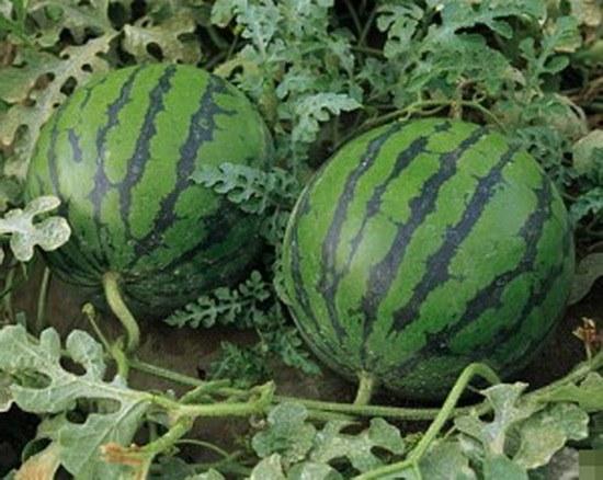 Как выращивать арбузы в Сибири