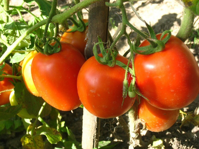 How to grow a good crop of tomatoes