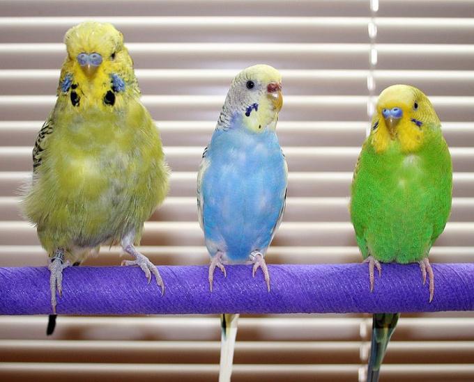 как узнать старый попугай или молодой