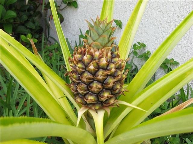 Как вырастить ананас из плода