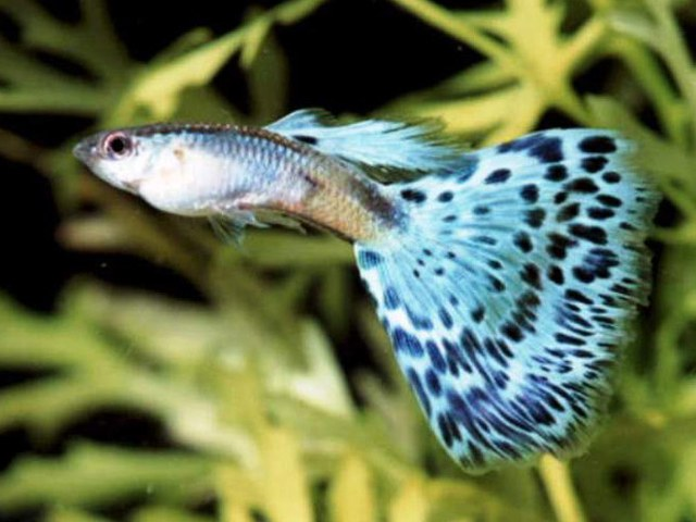 How to determine the sex of the guppies