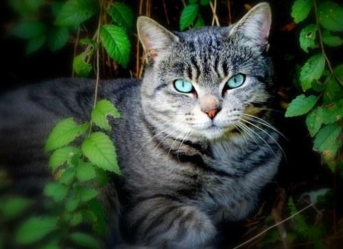 как быстро вылечить ушной клещ у кота