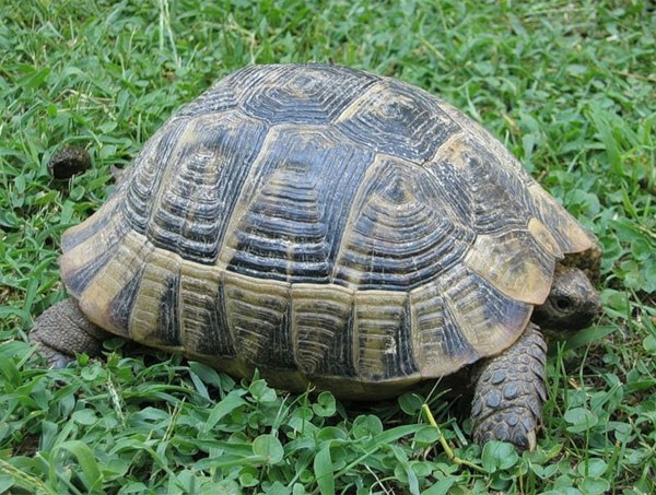 как определить возраст среднеазиатской черепахи