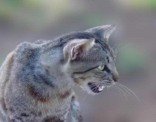 Как отучить кошку мяукать