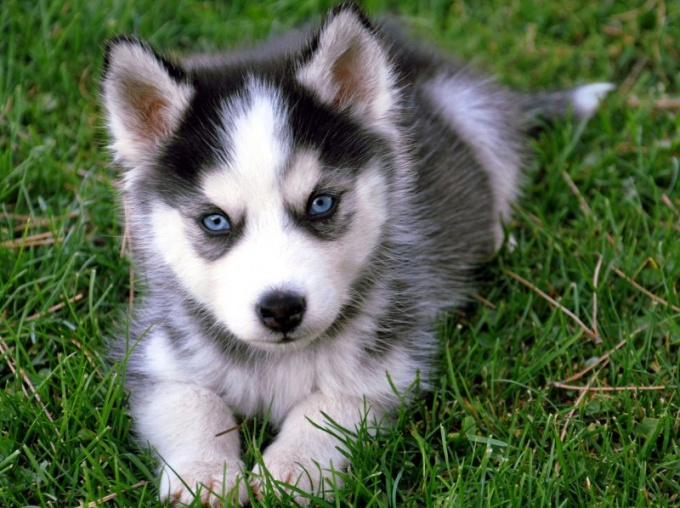 How to name a husky puppy