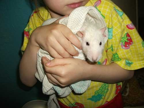 How to bathe pet rats