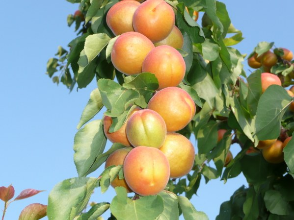 How to grow apricot