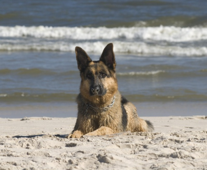 How to choose a German shepherd