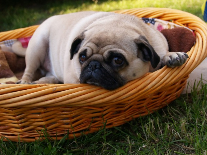 How to knit pug