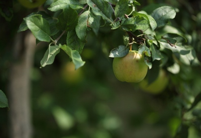 Как белить яблони