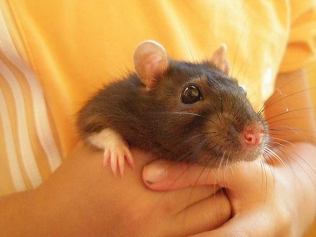 Как вылечить декоративную крысу