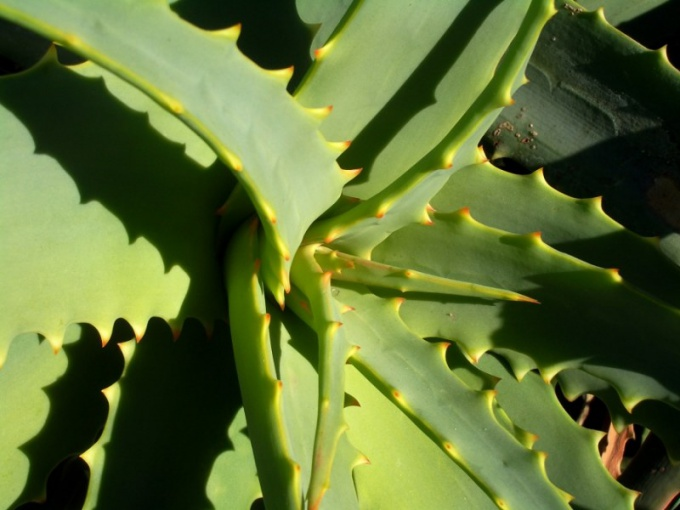 How to apply aloe Vera juice
