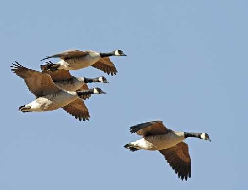 Fly where the wild geese and ducks