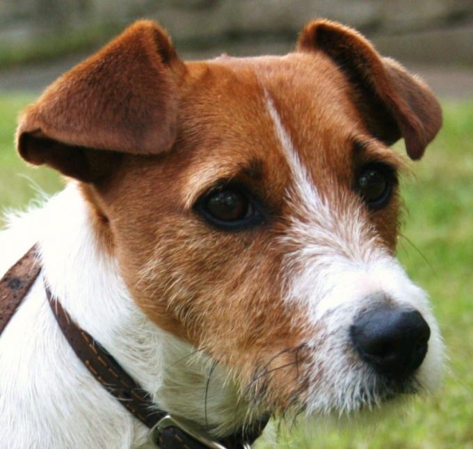 как вытащить подкожного клеща у собак